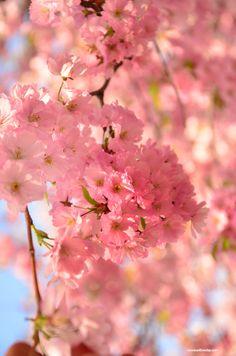 Cherry Blossoms (Stockholm)