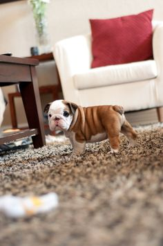 I REEEAAALLLYYYY want an English Bulldog. Especially b/c they look like this for a while <3