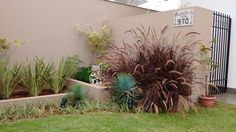 Pennisetum setaceum ´Rubrum´, Yucca Rostrata