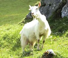 Appenzell Goat