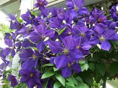 How to get decorative vines, such as this purple clematis to climb fences and trellises...I want these babies to grow on my fence
