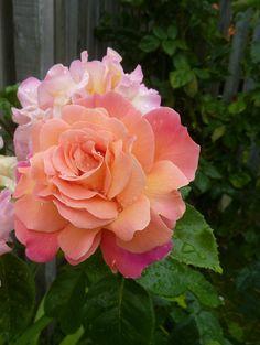 'Rainy Day' | Hybrid Tea Rose. Samuel Darragh McGredy IV, 1982 | Flickr - © Elizabeth Taylor