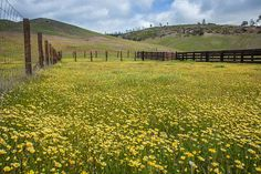Glorious wildflowers at Bear Valley, CA.