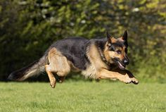 Everybody knows that dogs can't fly…but Banjo didn't get that memo. The five-year-old member of Greater Manchester Police's Tactical Dog Unit soared through the air during training. Manpol Banjo - to give him is official title – has been with the Force seen he was a pup and loves nothing more than showing of his agility. He is a general-purpose police dog and is trained to conduct searches, track suspects and apprehend fleeing offenders. www.gmp.police.uk