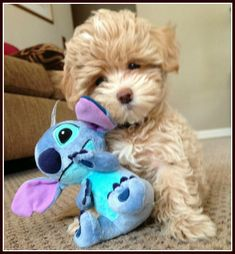 Images For > Black And White Maltipoo Full Grown Baby Puppies, Cute Puppies, Dogs And Puppies, Cute Dogs, Doggies, Bear Dogs, Fluffy Puppies, Animals And Pets, Baby Animals