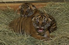Malayan tiger cubs at the Zoo, Christopher and Connor, when they were 2 weeks old.