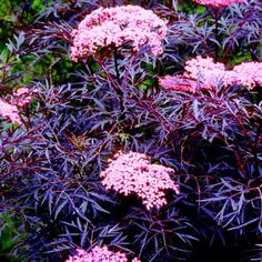 Sambucus Black Lace. A shrub with similar leaves to a Japanese Maple, but that tolerates partial shade.  Can be pruned back hard in the fall or left to grow to 8-10 ft.