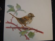 Lincoln Sparrow watercolor Michelle Heber Lincoln, Paintings, Watercolor, Pictures, Art, Photos, Watercolor Painting, Paint, Painting Art