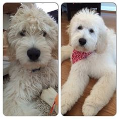 "Bentleys ""puppy cut"" before and after.. so nice to see his eyes again! …"