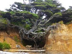 Tree fighting against erosion on a beach