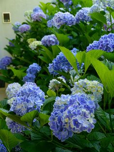 Blue and white hydrangeas (this variety is very popular in the landscape of the Azorean Ishlans) Portugal