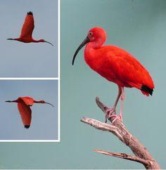 Scarlet Ibis / Corocoro colorado (Eudocimus ruber)
