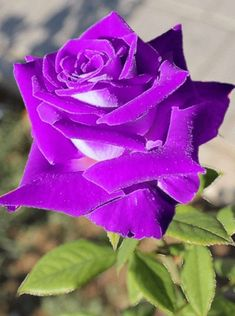 Beautiful Rose Flowers, Pretty Roses, Exotic Flowers, Beautiful Gardens, Beautiful Flowers, Purple Flowers, Red Roses, Rose Flower Wallpaper, Special Flowers