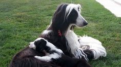 Cute Puppies, Cute Dogs, Afghan Hound, Afghans, Best Dogs, Babies, Pets, Board, Animals