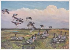 Pink-footed Geese in Holkham Fresh Marsh Wildlife Paintings, Wildlife Art, Robert Falcon Scott, The Wild Geese, Rare Birds, Sports Art, Natural History, Drawings, Nature