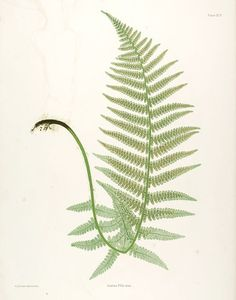 The ferns of Great Britain and Ireland - Thomas Moore, 1857 - Missouri Botanical Gardens rare book collection, Biodiversity Heritage Library La Malmaison, Easy Christmas Decorations, Living Room Pictures, Nature Prints, Objet D'art, New York Public Library, Botanical Prints, Botanical Posters, Botanical Gardens