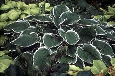Giant Hosta Cultivar  Frosted Jade Hosta is an old standby with heart-shaped gray-green leaves and distinct white margins.  The white margins turn upwards