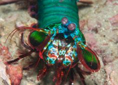 Thanks to their unique eye structure, a mantis shrimp may be the inspiration for new cancer-detecting technology.