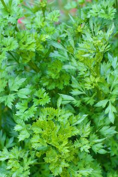 Helps pull toxins out of kidney and liver to flush out of our body. Parsley is an amazing powerhouse of nutrients and it should be respected as one of our best herbal medicines. Healing Herbs, Medicinal Plants, Natural Healing, Herb Plants, Herbal Remedies, Natural Remedies, Cilantro, Parsley Recipes, Parsley Pesto