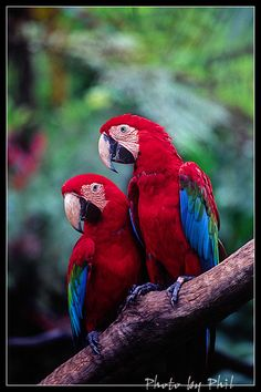 Scarlet Macaws... love the brilliant color in this photo.