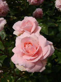 ••°‿✿⁀Pink Rose‿✿⁀°••●