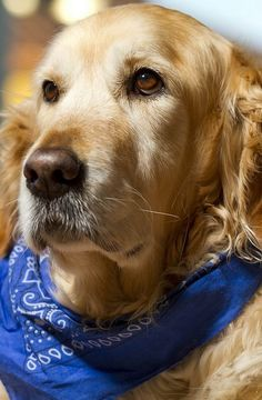 sylviayork: Beautiful Golden Retriever