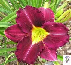 """SellPin.com: Pins for Sale by Owner: Catherine Neal (Carpenter-J., 1981)height 30"""", bloom 6"""", season VLa, Rebloom, Dormant, Diploid,  Purple self with green throat .  This is a great daylily if you are looking to extend your daylily bloom season.  This auction is for a single fan.Click on the shipping tab to see our shipping datesPlease note that our daylilyshipping season starts around 5/1 (weather dependent) and ends 9/30.  Irises ship 7/1 – 9/30  We only ship wi...$7"""