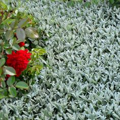 Snow in Summer seeds create a low-growing, perennial mat of dense coverage. This ground cover seed needs light for germination. Ground Cover Seeds, Ground Cover Plants, Snow In Summer, Ground Covering, Summer Plants, Perennials, Flowers, Gardens, Modern