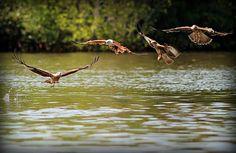 Der Adler, das Wappentier von Langkawi. Aus dem umgangssprachlichen Bahasa Melayu übersetzt bedeuted Langkawi soviel wie rötlich-brauner Adler. -- The eagle, Langkawi´s emblem. The name Langkawi means reddish-brown eagle.