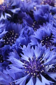 Cornflowers ( these are bachelor buttons, cornflowers are different)