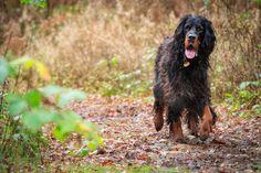 Gordon Setter ~ Classic Look Irish Setter, English Setter, Red And White Setter, Gordon Setter, Cutest Dogs, Paw Prints, Hunting Dogs, Doggies, Dog Breeds