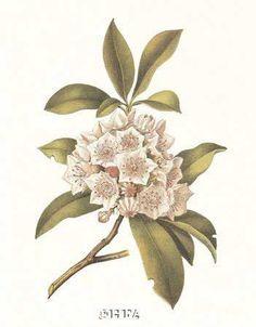 mountain laurel tattoo - Google Search