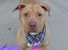 GRACE POTTER - A1037043 - TO BE DESTROYED –  05/30/15 Grace Potter could use some magic  ... - http://nycdogs.urgentpodr.org/grace-potter-a1037043/…