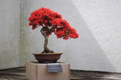 Red Bonsai and Shadow by garine.rm, via Flickr