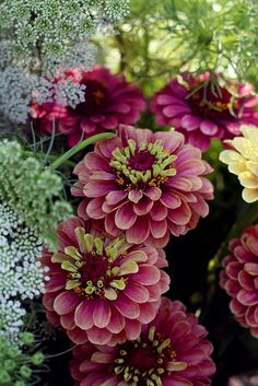 Zinnia Queen Red Lime-zinnas come in so many colors and sizes & stay well as cut flowers (note the queen anne's lace in the backbround) Deco Floral, Arte Floral, Bloom, Queen Annes Lace, Dream Garden, Garden Inspiration, Garden Plants, Zinnia Garden, Beautiful Gardens