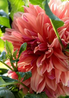 Peach Dahlia...i love dahlias! Old fashioned flowers my grannies grew.