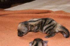 Ever heard of an aardwolf? If the answer is no then prepare yourself for the cutest animal you never even knew existed.