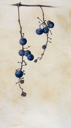 Wild grapes: Vitis vinifera    Grapes are somewhat isolated in the rosid group, requiring their own order with just a single family, Vitaceae. These wild grapes, hanging like gems from a necklace, were found growing near painter Kate Nessler's farm in Arkansas.