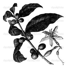 coffea or coffee shrub and fruits vintage engraving. vintage engraved illustration of coffee seed fruit and flower isolated against a white background. Engraving Illustration, Coffee Illustration, Digital Illustration, Gravure Illustration, Coffee Flower, Coffee Stock, Plant Tattoo, Coffee Images, Coffee Plant