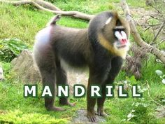 VIDEO, click to watch. This colorful Mandrill primate or monkey, which looks like a Baboons, is busy eating bugs and fresh leaves from a tree at the San Francisco Zoo in northern CA California ... more videos at http://www.youtube.com/jazevox