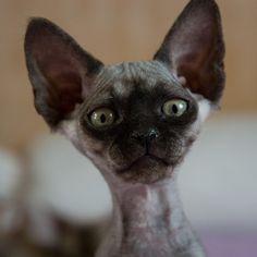 Black Smoke Devon Rex Kitten by peter_hasselbom, via Flickr