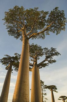 Reminds me of some of my dear African friends trying to retell the history of the Baobab tree. Le Baobab, Baobab Tree, Beautiful World, Beautiful Images, Unique Trees, Agricultural Land, Nature Tree, Tree Forest, Exterior