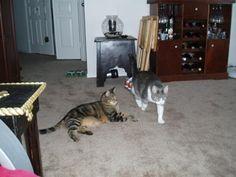 Cats Strange behavior #CatBehaviour - Know more about Cat Behaviour at Catsincare.com!