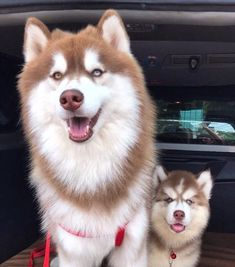 """1,073 Likes, 13 Comments - @husky.stores on Instagram: """"like son like father #yeuhusky…"""" #siberianhusky"""