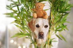 Golden Retriever Mali and his Teddy bear, photography by Gabi Stickler