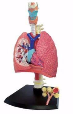 12 Ideas De Maqueta En 2021 Maqueta Del Sistema Respiratorio Maqueta Cuerpo Humano Maquetas