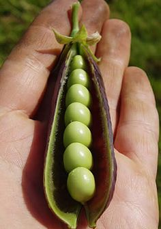 Pea - an easy veg to grow. Grow your own organic vegetables - and taste the difference!
