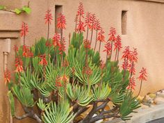 Aloe plicatilis - Fan Aloe