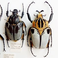 Goliathus cacicus pair