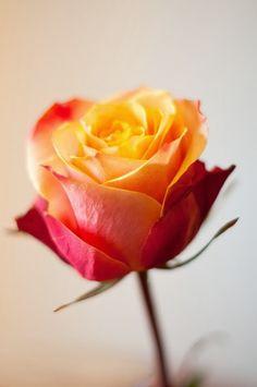 Sherry Cream Rose